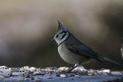 European crested tit Royalty Free Stock Photos
