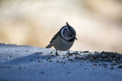 European crested tit Royalty Free Stock Image