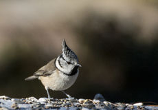European crested tit Stock Image