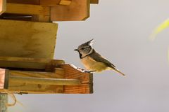 European Crested Tit bird perching on wooden bird house feeder,. Cute European Crested Tit bird perching on wooden bird house feeder, Autumn in Austria, Europe Royalty Free Stock Photo