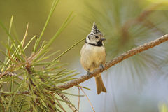 European Crested Tit Stock Photography