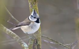 European Crested Tit thoughtful perched on small twigs in grey woods stock photo