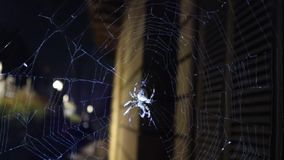 European Cross Spider Araneus Diadematus  runs away. European Cross Spider Araneus Diadematus On Web runs away stock footage