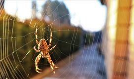 European Cross Spider On Web royalty free stock photo