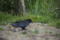 An european Crow Corvus brachyrhynchos is looking for food Stock Photography