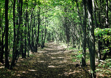 European deciduous forest in summer Royalty Free Stock Image