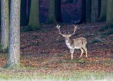 European deer - Dama dama. Deer European, shooting in the wild Stock Image
