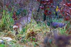 European deer - European roe. Deer European, shooting in the wild Royalty Free Stock Photo