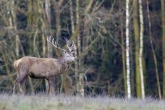European deer - European roe. Deer European, shooting in the wild Stock Photography