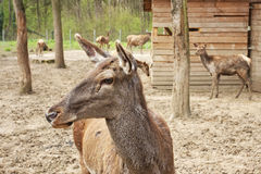 European deer in zoo Royalty Free Stock Image