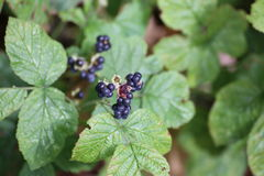 European Dewberries Royalty Free Stock Images