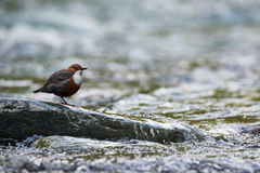 European dipper resting on a rock. In a mountain stream Royalty Free Stock Image