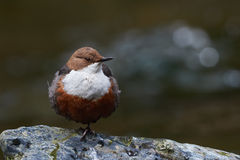 European dipper. On a rock on the bank of a italian stream Stock Image