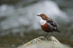 European dipper. On a rock on bank of a mountain stream Stock Photo