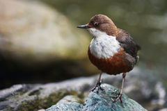 European dipper on a rock Stock Photography