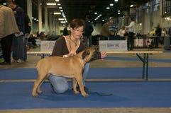 European Dog Show 2008 Stock Images