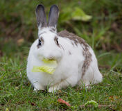 European Domestic Rabbit (Oryctolagus cuniculus) Stock Images