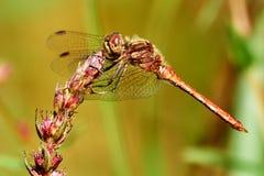 Sympetrum vulgatum. The European dragonfly Sympetrum vulgatum,closeup photo Stock Photo