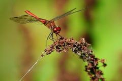 Sympetrum vulgatum. The European dragonfly Sympetrum vulgatum,closeup photo Stock Photography