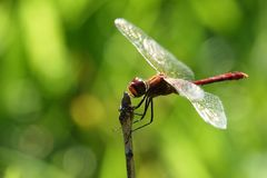 Sympetrum vulgatum. The European dragonfly Sympetrum vulgatum,closeup photo Royalty Free Stock Image