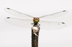 European dragonfly Stock Photography