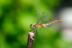 European dragonfly Stock Image