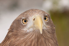An european eagle. In a dutch zoo Royalty Free Stock Photos