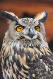 A European Eagle Owl. A beautiful European Eagle Owl displaying it's bright orange eyes Royalty Free Stock Photos