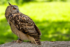 European eagle owl. An European eagle owl sitting on a log Royalty Free Stock Images