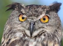European Eagle Owl Royalty Free Stock Image