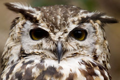 European Eagle Owl. (Bubo Bubo Bubo) looking at viewer - landscape orientation Stock Photos