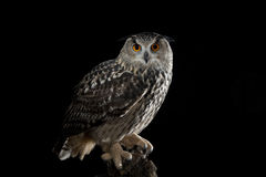 European Eagle Owl Royalty Free Stock Photography