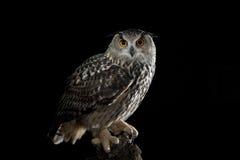 European Eagle Owl. (Bubo bubo) perched on a tree,Avila,Spain,Europe Royalty Free Stock Photography
