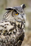 European Eagle Owl. (Bubo Bubo Bubo) looking at viewer - portrait orientation Royalty Free Stock Images