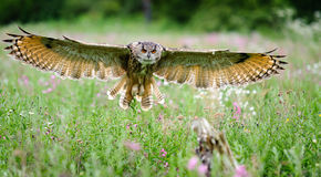 European Eagle Owl. In flight through an English meadowThis is the 15000000th image online royalty free stock images