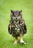 European Eagle Owl. A particularly grumpy looking European Eagle Owl walking Stock Image