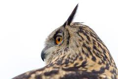 European Eagle Owl. Portrait of a European Eagle Owl against a very bright sky Royalty Free Stock Photography