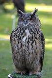 European eagle owl. (bubo bubo Stock Images