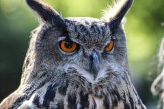 European eagle owl stock image