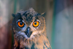 European Eagle Owl. In Slovakia Stock Photos