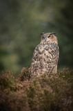 European Eagle Owl. A European Eagle Owl perched in heather on typical moorland habitat, looking for prey. Although it is an owl, it frequently hunts in daylight royalty free stock photo
