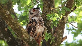 European Eagle Owl, asio otus, Adult standing on Tree, Looking around, Normandy in France, stock video