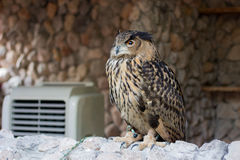 European Eagle Owl Royalty Free Stock Photos