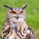 European Eagle Owl. Bird portrait Royalty Free Stock Photography