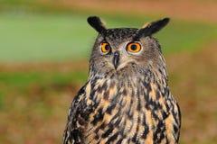 European Eagle Owl, Bird Of Prey Royalty Free Stock Photography