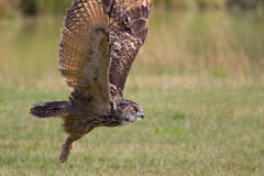 European eagle owl bird of prey taking off. Flying close to grou Stock Photos