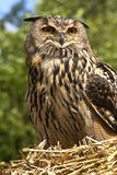 European Eagle Owl (Buba bubo). A European Eagle Owl (Bubo bubo) in the Highlands of northern Scotland Stock Image
