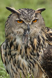 European Eagle Owl (Buba bubo) Royalty Free Stock Images