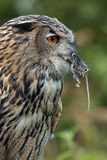 European Eagle Owl (Buba bubo) - Scotland Stock Image