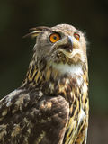 European eagle owl (bubo bubo) Royalty Free Stock Image